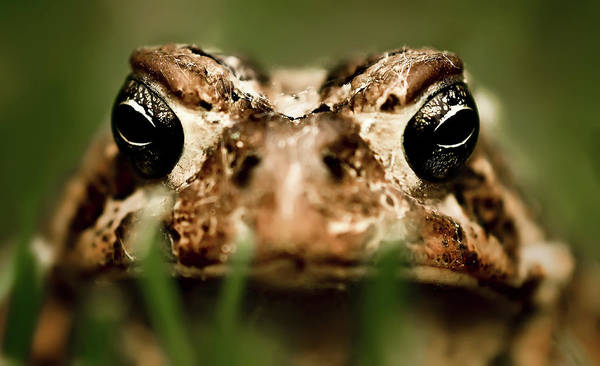 Photograph - Toad In The Grass by  Onyonet  Photo Studios