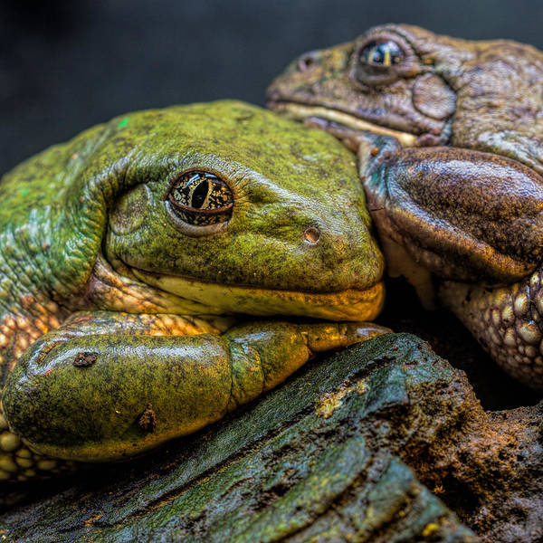 Photograph - Toad Pair by Jonathan Davison