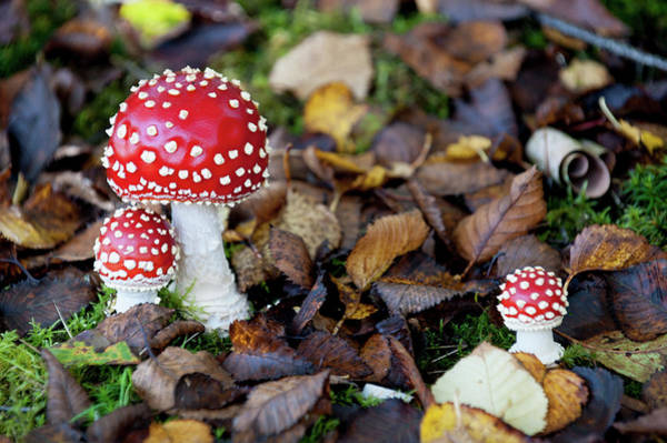 Photograph - Toadstools In The Woods Vii by Helen Northcott