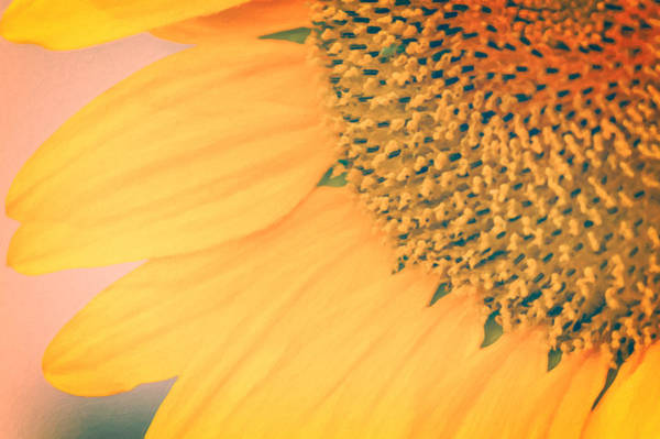 Photograph - Toasted Sunflower by Garvin Hunter
