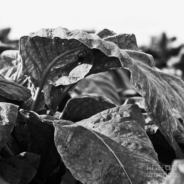Photograph - Tobacco 1 by Patrick M Lynch