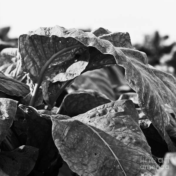 Photograph - Tobacco 2 by Patrick M Lynch