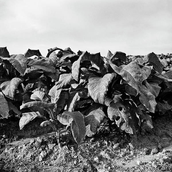 Photograph - Tobacco 4 by Patrick M Lynch