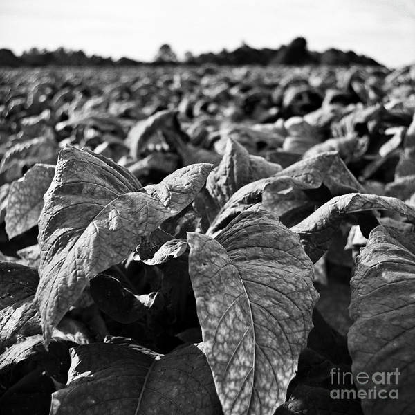 Photograph - Tobacco Crop by Patrick M Lynch
