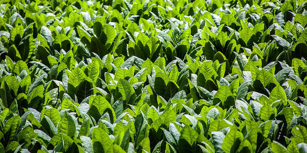Photograph - Tobacco Green by Dale R Carlson