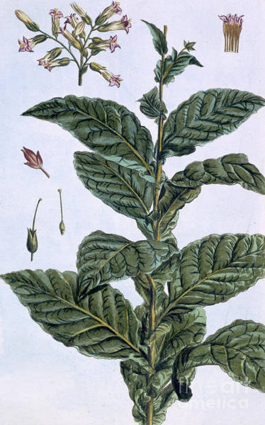 Tobacco Wall Art - Drawing - Tobacco Plant by Pierre-Joseph Buchoz
