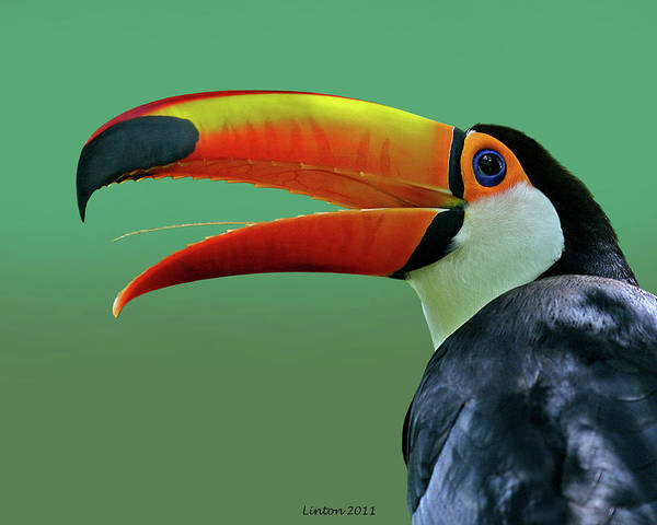 Photograph - Toco Toucan 3 by Larry Linton