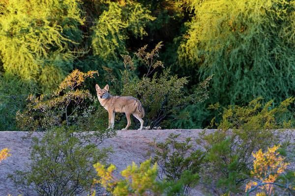Today's Coyote Art Print