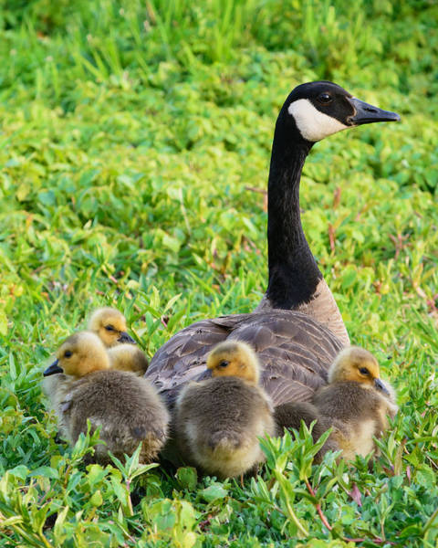 Mother Goose Photograph - Togetherness by Patrick Campbell