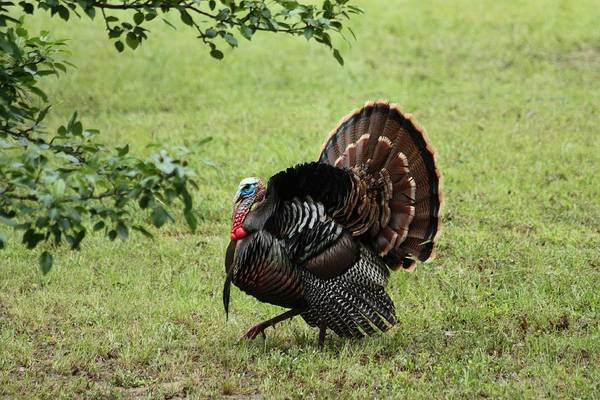 Photograph - Tom Turkey In Spring by Sheila Brown