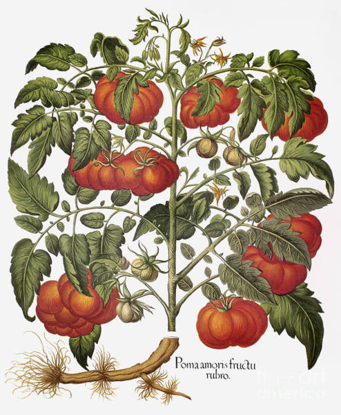 Photograph - Tomato, 1613 by Granger