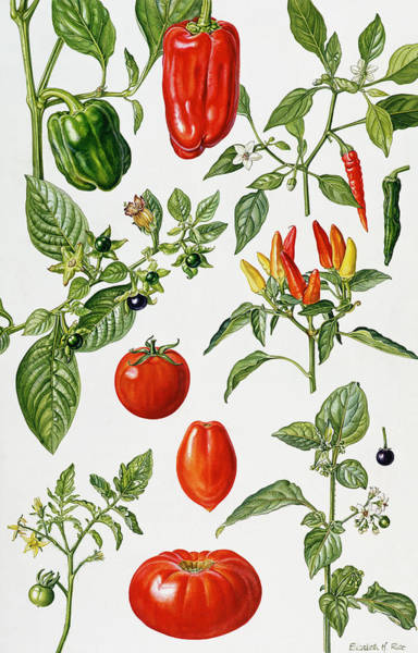 Veggies Painting - Tomatoes And Related Vegetables by Elizabeth Rice