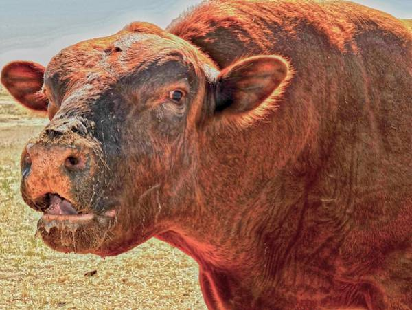Photograph - Too Close For Bull by Amanda Smith