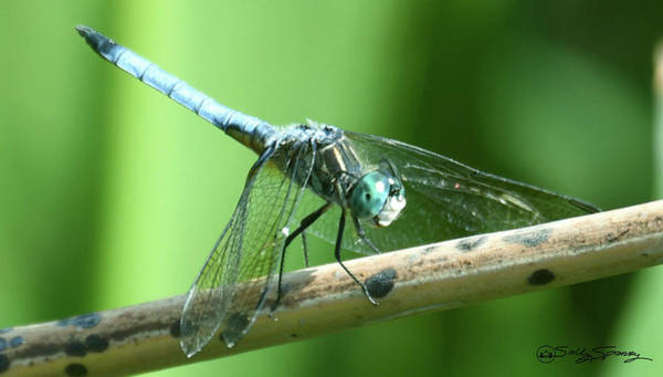 Photograph - Toothy Blue Dasher by Sally Sperry