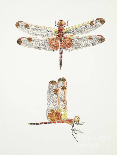 Top And Side Views Of A Male Calico Pennant Dragonfly Art Print