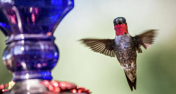 Beautiful Hummingbird Photograph - Top Of The Morning To You by Betsy Knapp