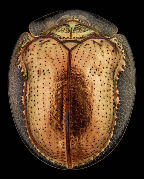 Wall Art - Photograph - Top View Of A Golden Tortoise Beetle by Mihai Andritoiu