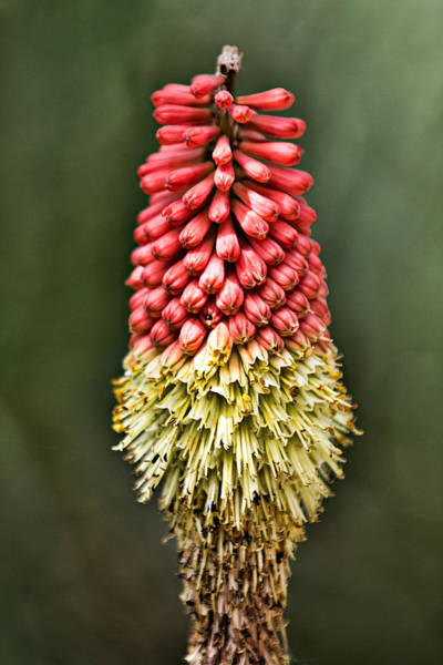 Red-hot Poker Photograph - Torch Lily by Lana Trussell