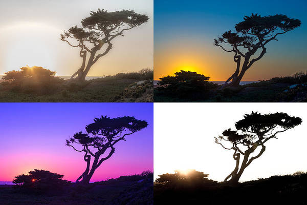 Torrey Photograph - Torrey Pine Study by Peter Tellone