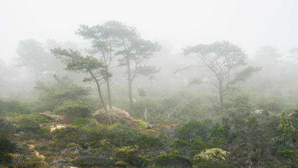 Torrey Photograph - Torrey Pines In Coastal Fog by Joseph Smith