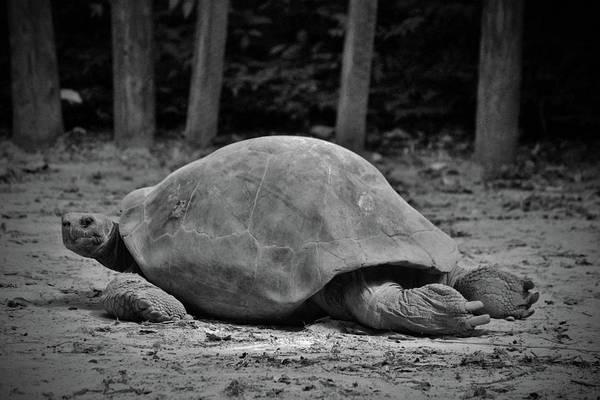 Photograph - Tortoise Relaxing by Cynthia Guinn