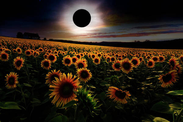 Wall Art - Photograph - Total Eclipse Over The Sunflower Field by Debra and Dave Vanderlaan