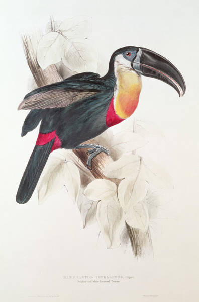 Ornithological Wall Art - Painting - Toucan by Edward Lear