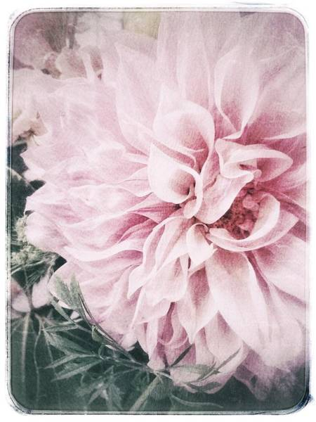 Photograph - Touch Of Blush Dahlia by Jill Love