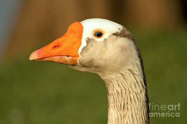 Photograph - Toulouse Goose Close Up by Adam Jewell