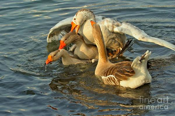 Photograph - Toulouse Goose Clusterduck by Adam Jewell