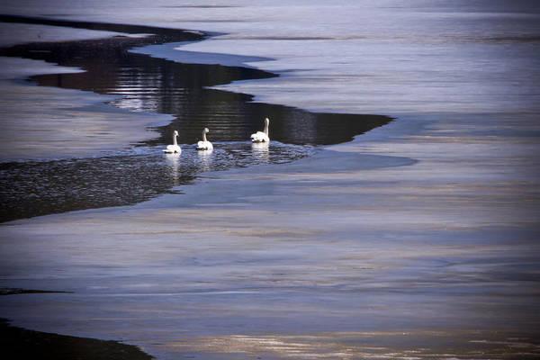 Photograph - Tourist Swans by Albert Seger