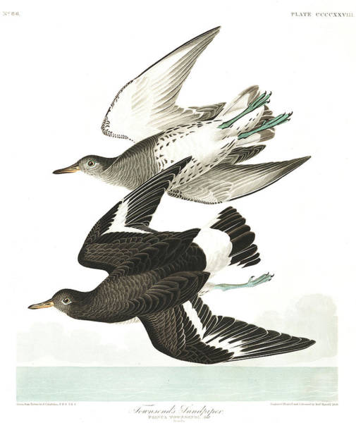 Wall Art - Painting - Townsends Sandpiper by John James Audubon