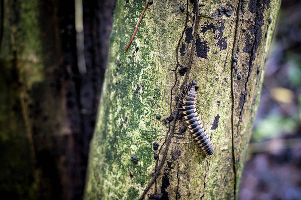Photograph - Tractor Millipede by David Morefield
