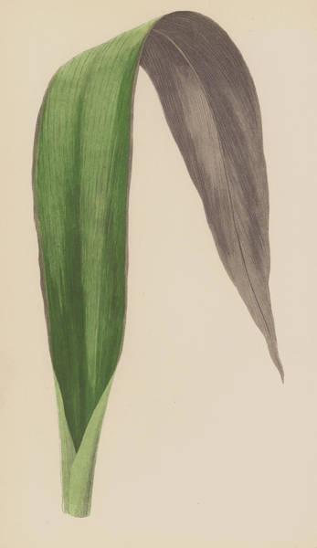 Leaf Venation Wall Art - Painting - Tradescantia Odoratissima by English School