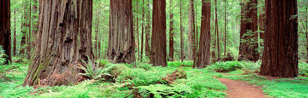 Evergreens Photograph - Trail, Avenue Of The Giants, Founders by Panoramic Images