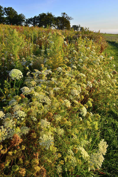 Photograph - Trailside Queen Anne's Lace In Glacial Park by Ray Mathis