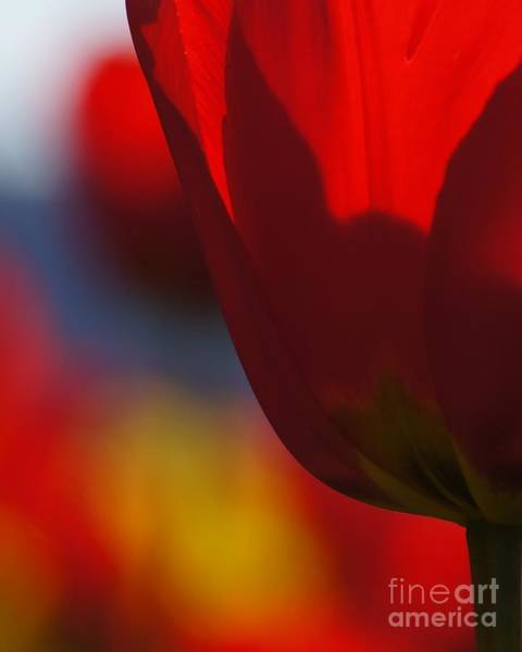 Photograph - Translucent Tulip by Patricia Strand