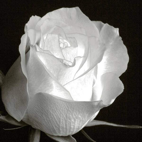 Photograph - Translucent White Rose 5528.01 by M K Miller