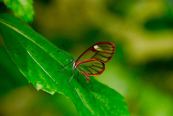 Photograph - Transparent Butterfly by Harry Spitz