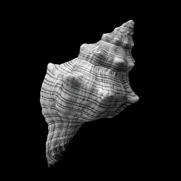 Photograph - Trapezium Horse Conch Sea Shell by Jim Hughes