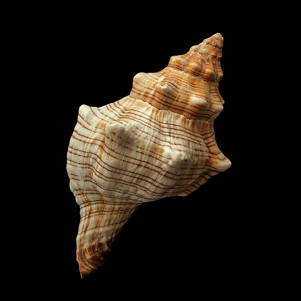 Conch Photograph - Trapezium Horse Conch Shell by Jim Hughes