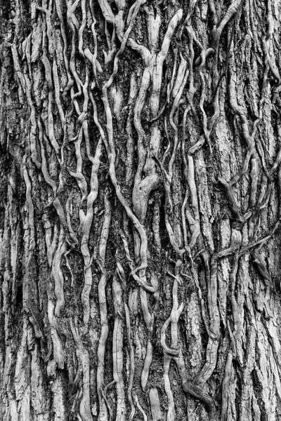 Black And White Abstract Photograph - Tree Bark Abstract by Tom Mc Nemar