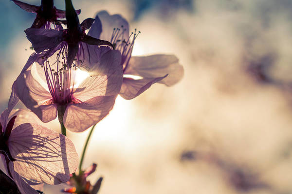 Photograph - Tree Blossoms Backlit By The Afternoon Sun by Jeanette Fellows