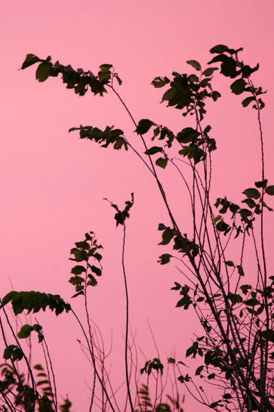 Wall Art - Photograph - Tree Branches Under Pink Sky by Ellie Teramoto