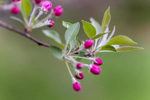 Photograph - Tree Buds by Tom Singleton