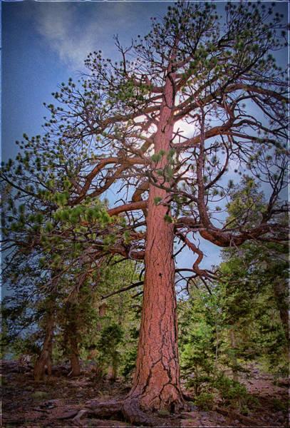 Photograph - Tree Cali by Paul Vitko