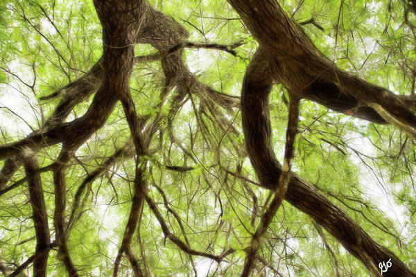 Photograph - Tree Canopy by Gina O'Brien