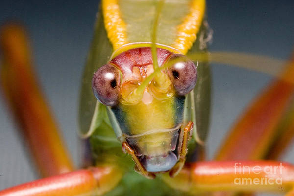 Photograph - Tree Cricket by B.G. Thomson
