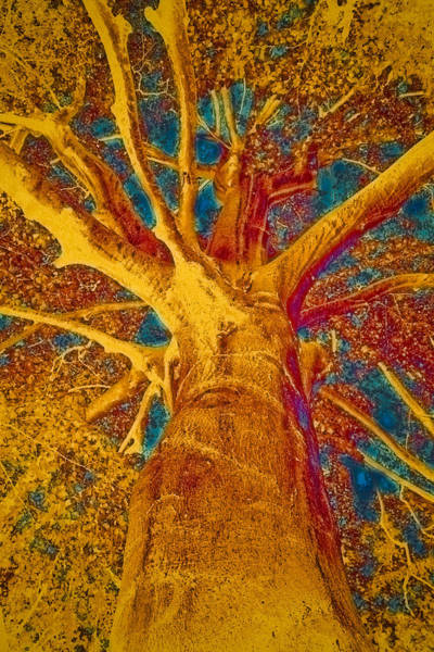 Pastel Drawing Painting - Tree Crown by Frank Tschakert