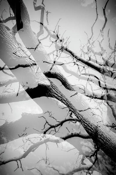 Photograph - Tree Division In Mono by John Williams